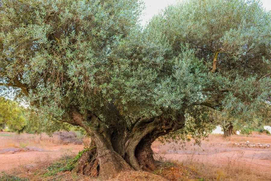 Olivo milenario farga antiguo