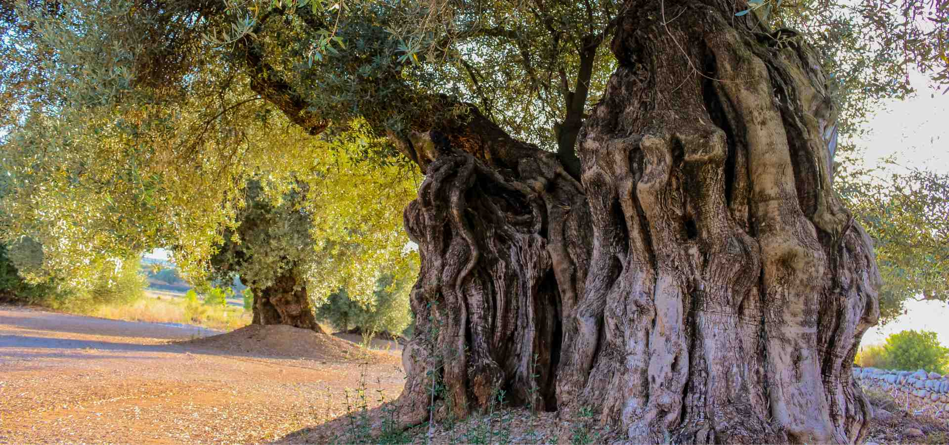 Olivos milenarios 2000 años farga